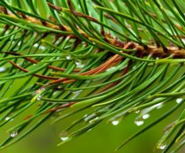 Pine Bath Oil